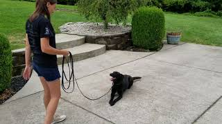 Holly, personal Protection Dog, K9 Unleashed, On Leash Update