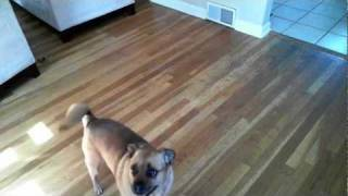 Cute Pug Rat Terrier Mix Preforming Amazing Dog Tricks