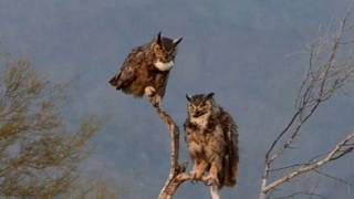 Two Owls on a perch
