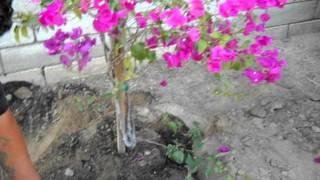Bougainvillea planting.AVI