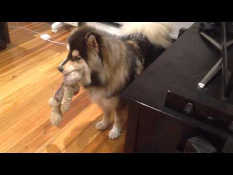 Heisenberg dog throwing a tantrum