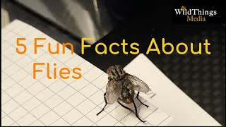 5 Fun Facts About Flies  |  Are they clean? Why do flies rub their legs together?