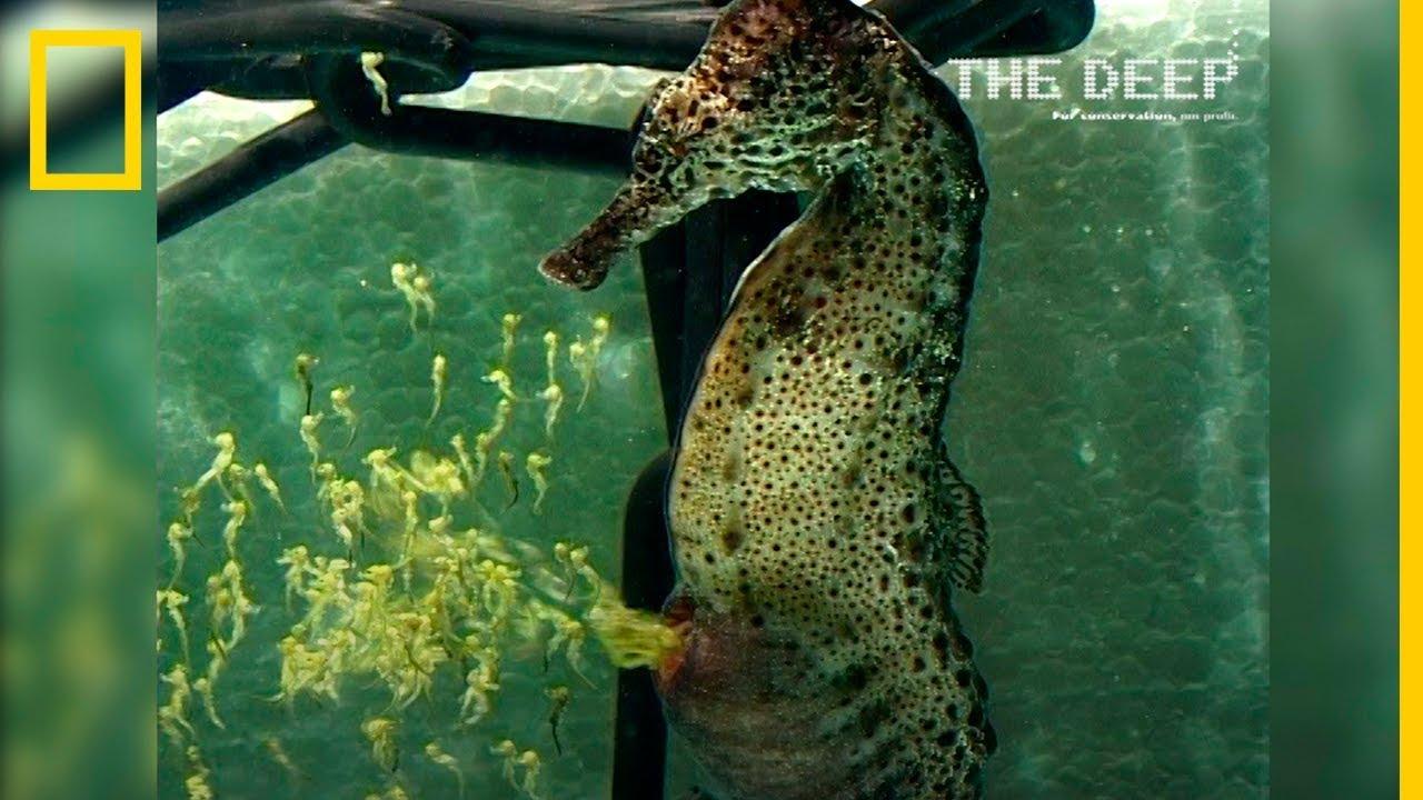 Increíbles Imágenes De Un Caballito De Mar Macho Pariendo A Más De