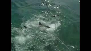 Tubarão branco - África do sul -  por Carlos Pira Mortifer R…