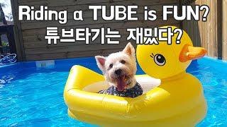 Westie : Funny Cute dogs with Tube, Surf, Swim 웨스티 화이트테리어 : 팬션에서 튜브 & 수영 & 서핑 (귀여운 강아지, 애견)