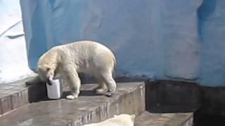 Белый мишка купается.