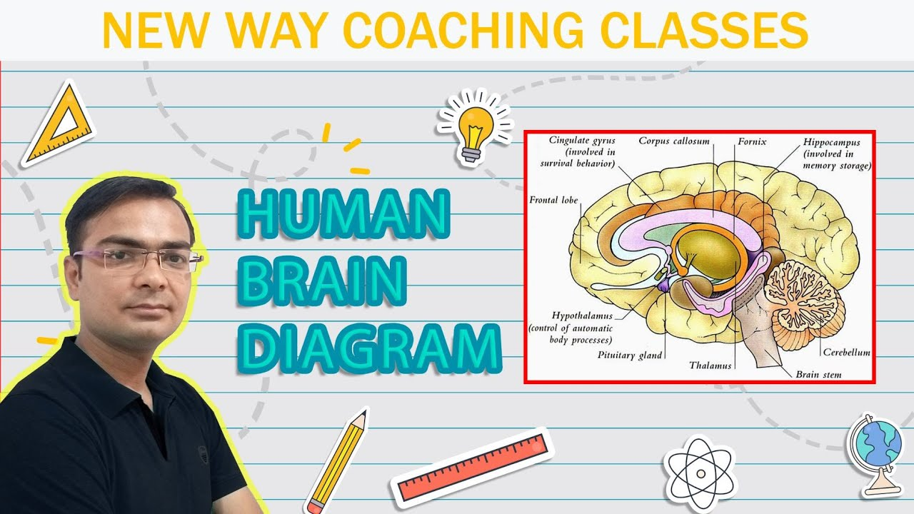 How To Draw Human Brain Diagram Class 10 Rbse Cbse Science Youtube
