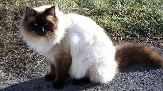 Порода кошек. Балинезийская кошка (Балинез, Балийская кошка).Стройная кошка с длинным телом