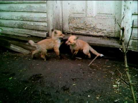 baby fox.AVI