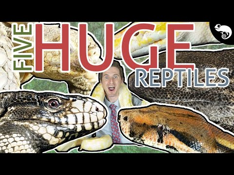 Five Of The Best GIANT Pet Reptiles