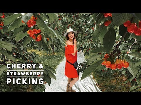 Cherry & Strawberry Picking In Japan?! Here's Where! 🍒🍓 | Your ONLINE Tour Guide: @Bianca_Valerio