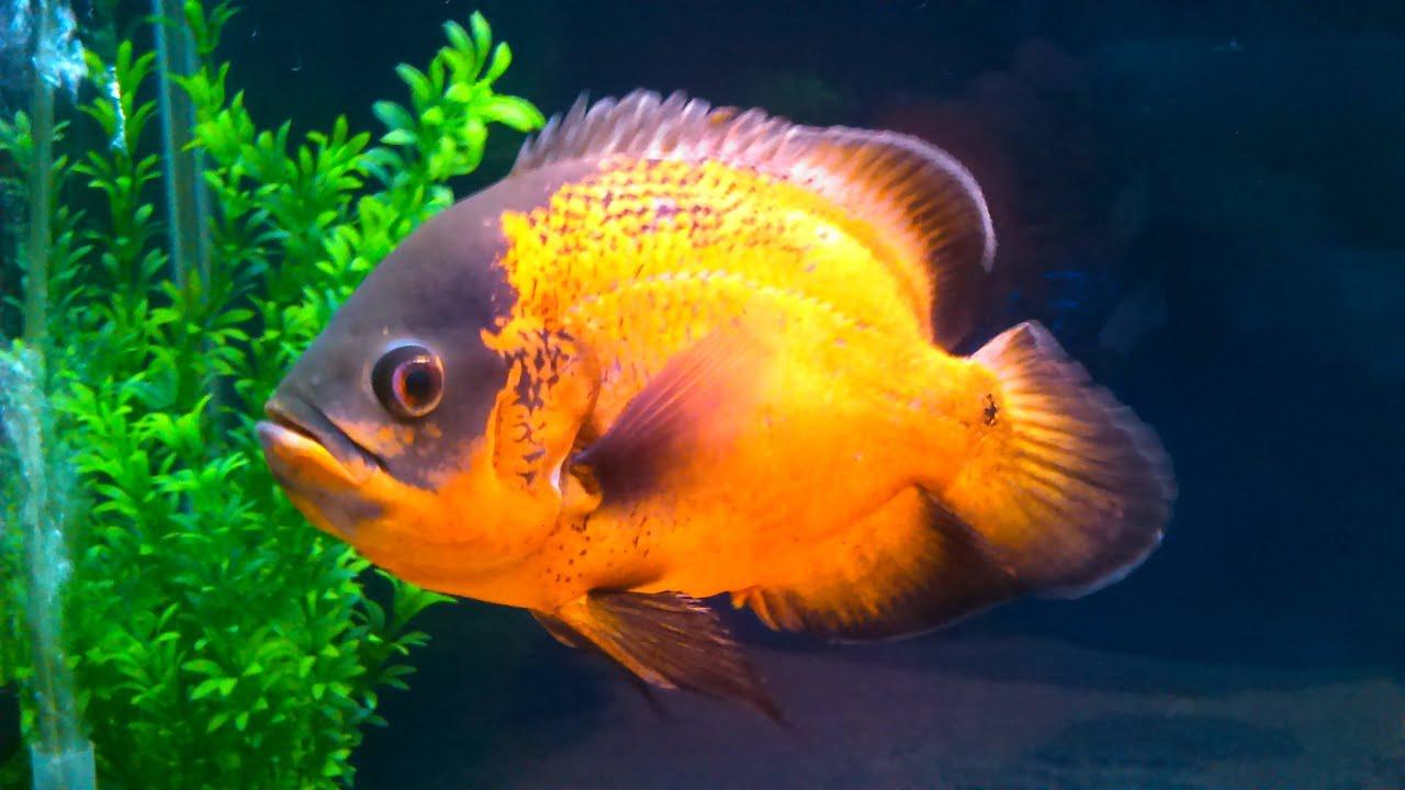Red Oscar Fish Youtube