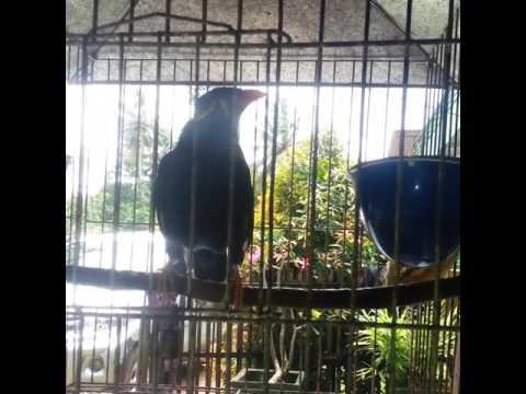 Di Jual Burung Beo Berkualitas Super Udah Bisa Tanya Jawab Minat Hub 081381322333 Youtube