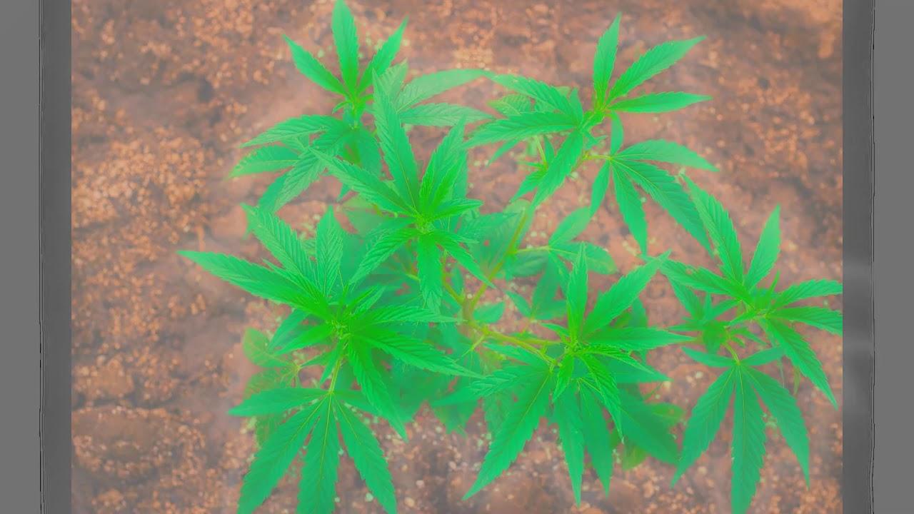 Песня марихуана скачать конопля польза от нее