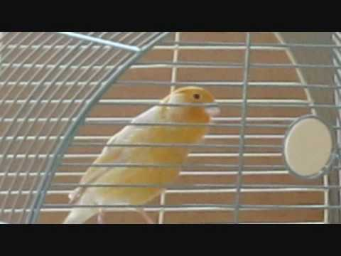 canary ( yen hot)