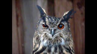 UHU antwortet! European Eagle-Owl answers! #Ruf der Eule