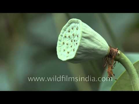 Fruit and unripe seed pod of lotus or Nelumbo nucifera