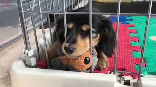 Miniature Dachshund's puppy's name is determined! But he sleeps と...