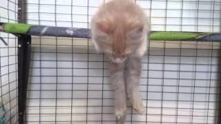Как спит котёнок мейн кун