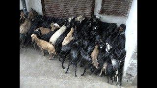 शेळीपालन आणि पावसाळा  || Goat Farming In India By Ajit Mulik