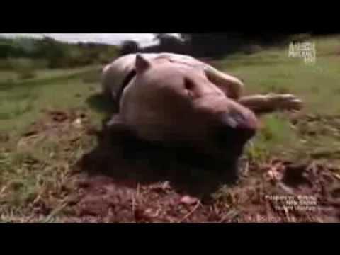 puma animal attack