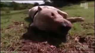 "Dogo Argentino ""Morocho"" saves 2 girls from Puma attack"