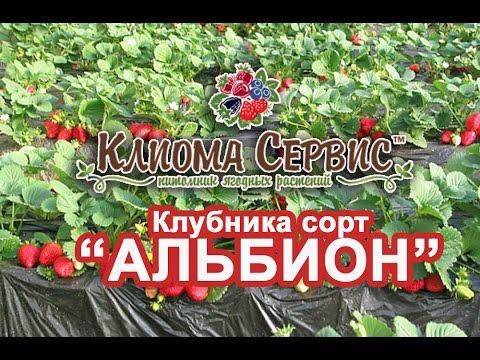 Технология выращивания клубники - YouTube