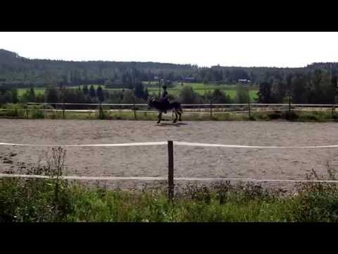 Swedish annual donkey show 2014 Harley in the dressage