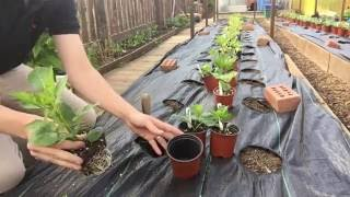 How to Grow Dahlias. Planting out. Part 7 (Early June)