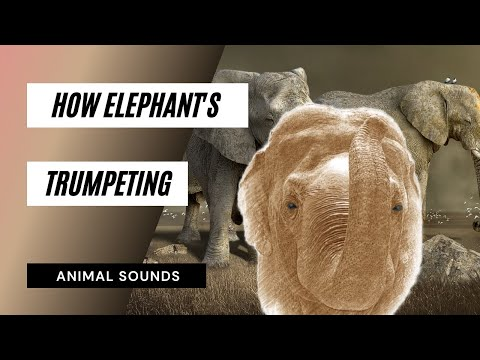 The Animal Sounds: Elephant Trumpeting -Sound Effect - Animation