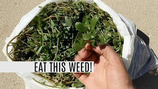 Harvesting 5lbs of Purslane in 5 MINUTES! This Weed Is A Superfood!