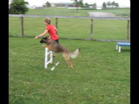 Beginner Dog Agility Training