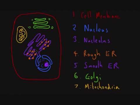 Human Cell Structure - YouTube