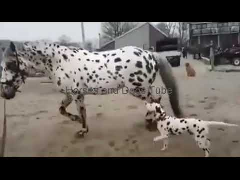 My Dalmatian Dog and Leopard Horse