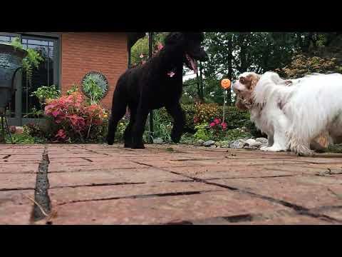 Dog Party: Maltese / Poodle / Cavalier King Charles Spaniel