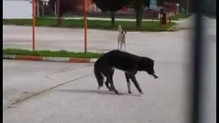 Dog in Bosnia, run over and then beaten