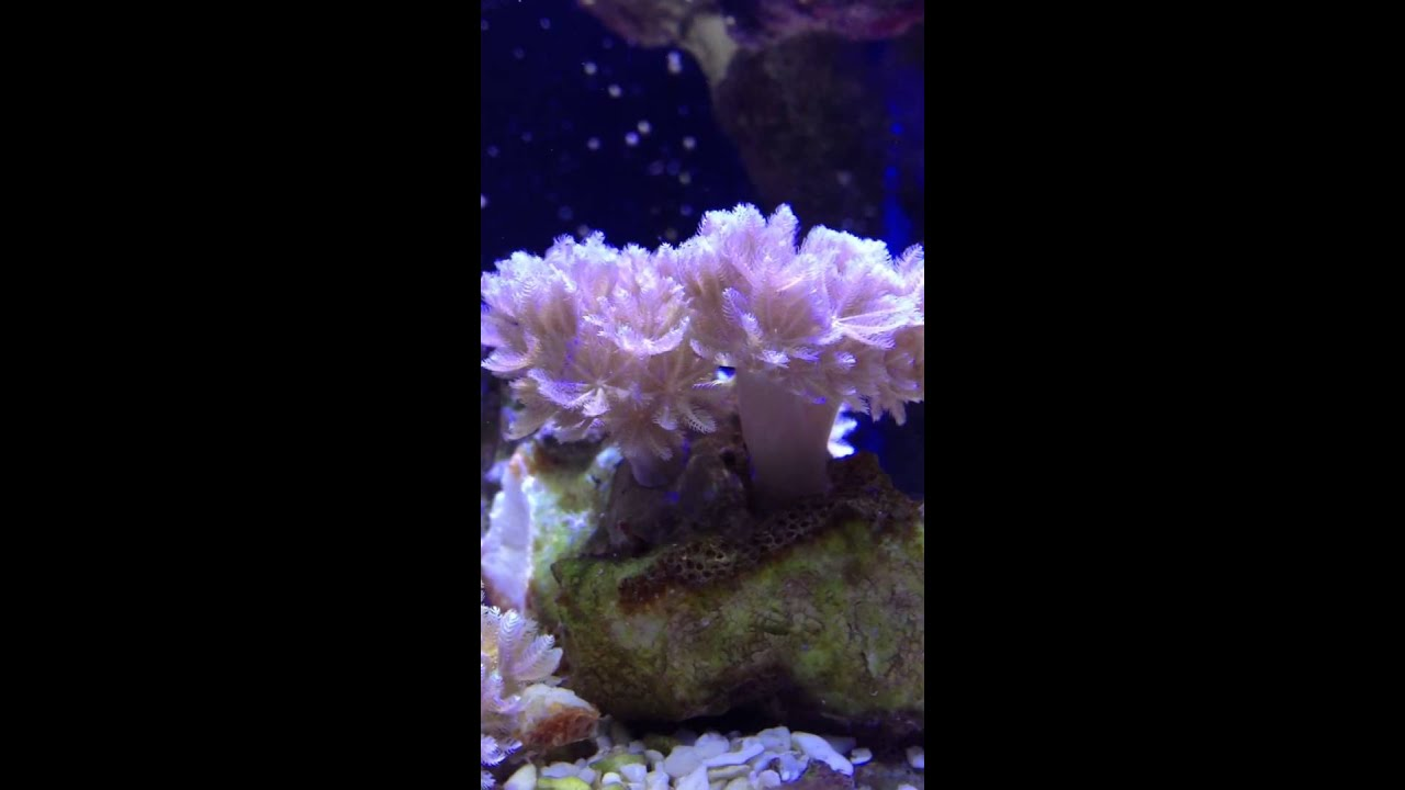 Red Sea Pulsing Pom Pom Xenia Coral - YouTube