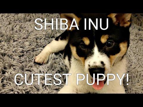 Shiba Inu VLOG #3