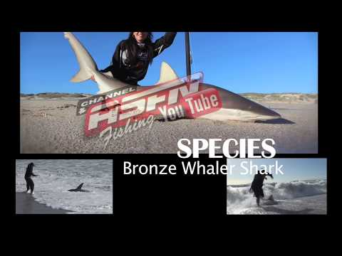 ASFN 2017 SPECIES   What you need to know about Bronze Whaler Sharks
