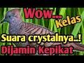 Pancingan Suara Burung Perkutut Gacor Rapet Bikin Perkutut Tetangga Jadi Aktiv Bunyi Jajalen  Mp3 - Mp4 Download