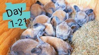 Raising Meat Rabbits - Kits Week 1-3