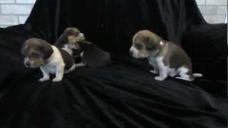 Pocket Beagle Puppy Temperment Video Miniature Beagles Akc Video Pups For Sale
