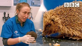 A very cute hedgehog's day at the vet  | Mountain Vets - BBC
