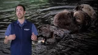 Fast Ocean Facts — Sea Otter Trivia