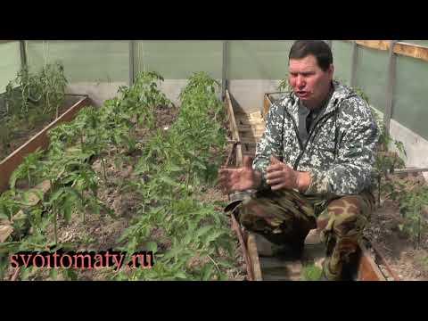 Вопрос: Когда поливать помидоры после высадки рассады в грунт?