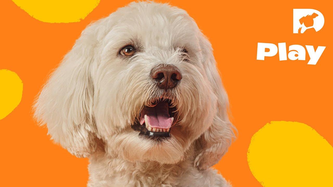 dogtv stimulation: a beagle and a pekingese - youtube