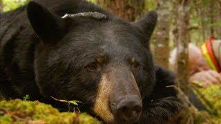 black-bear-tragically-killed-by-hunter-bbc-earth