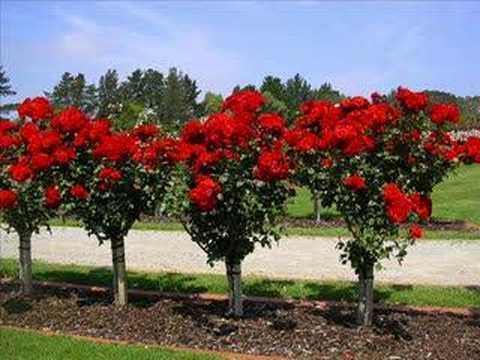 Rose Garden. Red Biz