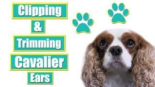 Grooming Cavalier King Charles Spaniel Ears