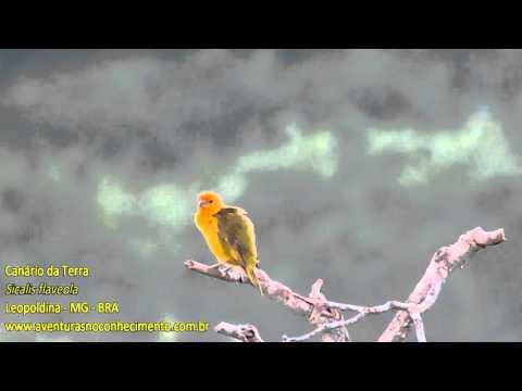 Canário-da-terra (Sicalis flaveola) - AVES - BIOLOGIA
